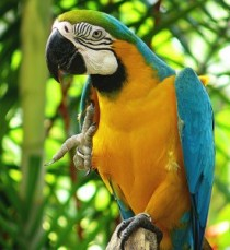 Good looking two blue and gold macaw par
