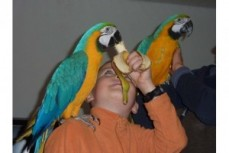 18 month Blue And Gold Macaws parrots