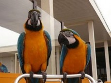 Reared Blue And Gold Macaws parrots