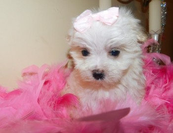 Maltese pups looking for their new home