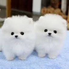 Teacup Pomeranian Puppies.