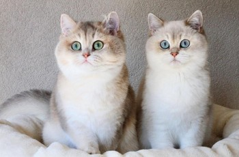 Male and female British shorthair