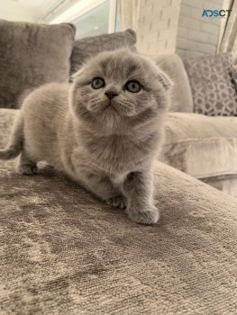 Adorable outstanding Scottish Fold