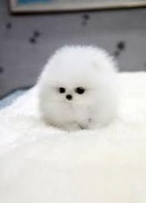 Teacup Pomeranian puppies fo ...