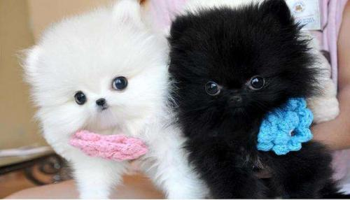 Teacup Pomeranian puppies for sale