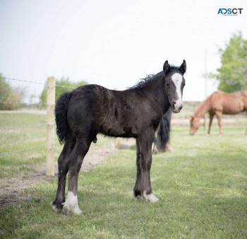 Our Gypsy Vanner Colt