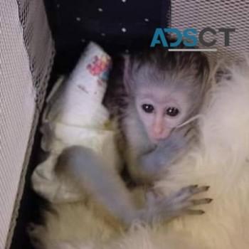 capuchin monkey ready for adoption