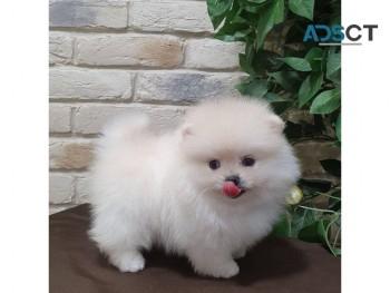 Purebred Pomeranian puppies for sale