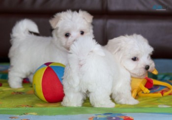 Malta white puppies ready for a new home