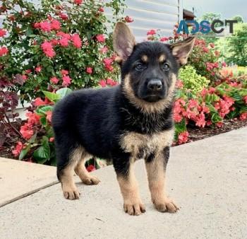 Quality German Shepherd pups for sale