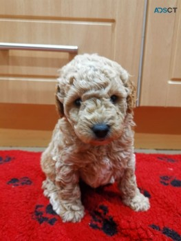 The most amazing Toy Poodle you can see.