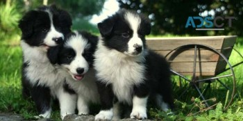 Adorable Border Collie Puppies for sale