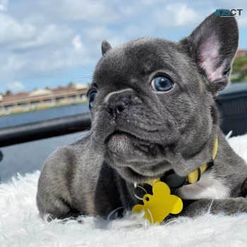 energetic Frenchies puppies for sale