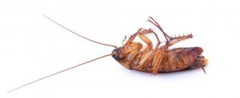 Aussie professional  cockroach pest control Service