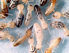 Albury wodonga pest control and termite technology