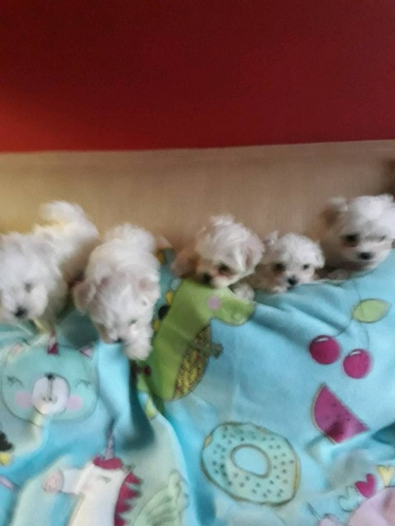 maltese puppies for sale | Melbourne Central Station, Melbourne VIC