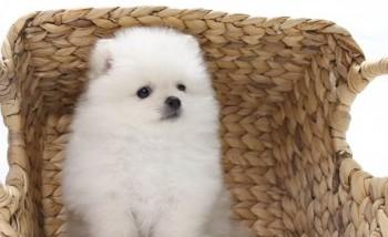 sweet Teacup Pomeranian Puppy
