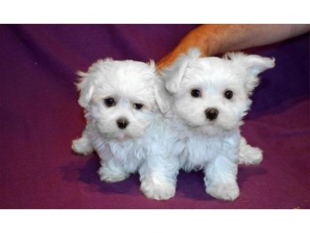 charming teacup Maltese puppies for adop