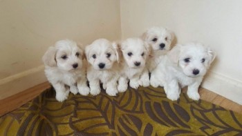 Pedigree Maltese Puppies Looking For Lov