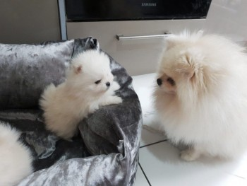 Teddy Bear Pedigree Pomeranians