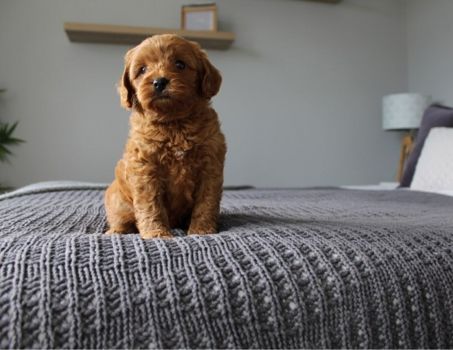 Male and female cavapoo puppies for sale | Ballarat VIC