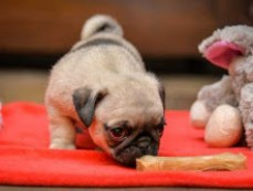Cute Xmas Most Charming and Adorable Pug
