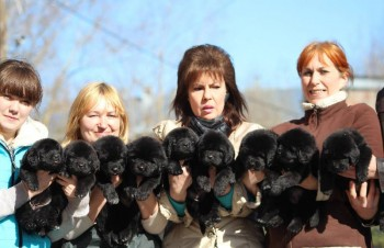 Kc Health Tested Newfoundland Puppies