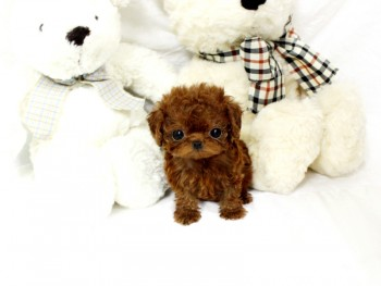 Micro Teacup Poodle  Puppies ...