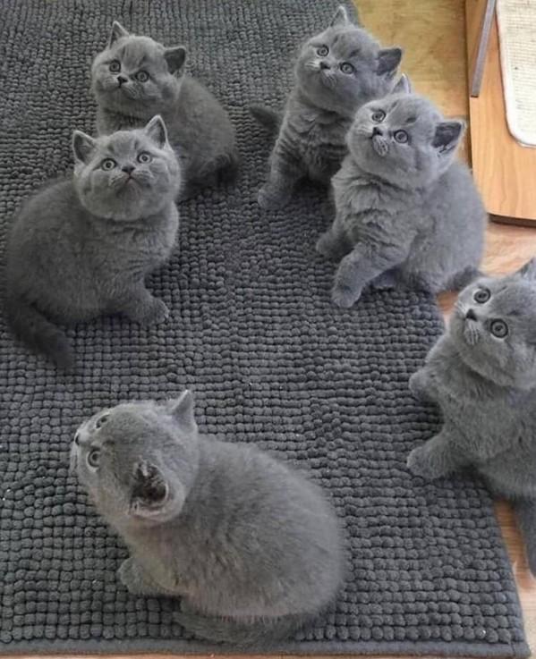 British shorthair kittens.