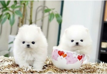 Super adorable Teacup Pomeranian Puppies