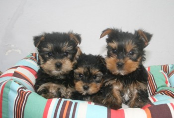 Gorgeous Tiny Yorkie Puppies For Adoptio