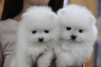 Cute Teacup Pomeranian Pups - For Sale