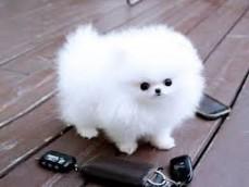 Cute Teacup Pomeranian Pups - For Sale