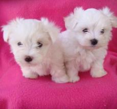 Maltese Puppies(judithpratt25@gmail.com)