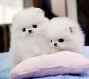 Teacup Pomeranian puppies for you