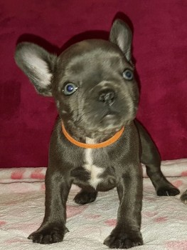 Blue French Bulldog Pups Ready Today