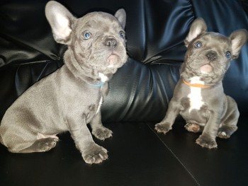 Active Solid Blue French Bulldog Puppies