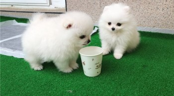 Pomeranian Puppies for sale  for you