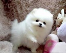 Fantastic White Teacup Pomeranian puppie