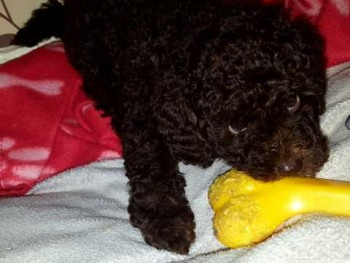 Poodle toy puppies for sale