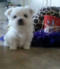 Fantastic Maltese Puppies Available for