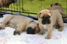 Home Raised Mastiff Puppies Available fo