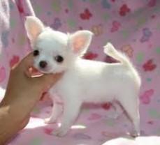 Wonderful Teacup Chihuahua Puppies sale.