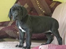 Adorable Great Dane puppies For Sale