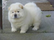 Stunning Chow chow Puppies for sale