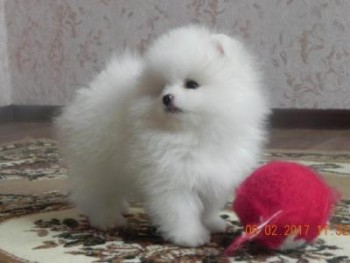 Two male and female Pomeranian pups for