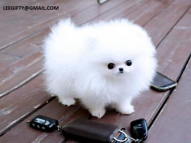 Pure Breed Teacup Pomeranian Puppies