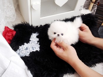 Excellent Pomeranian Puppies Available.