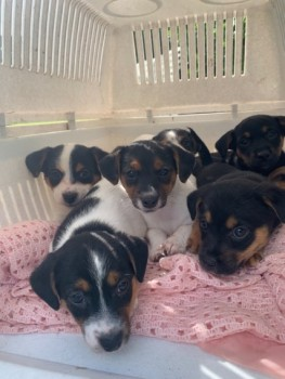 Adorable Jack Russell Pups