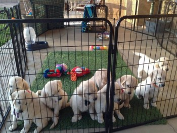Lovely young Golden retriever puppies